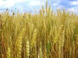 фото пшеницы и ржи